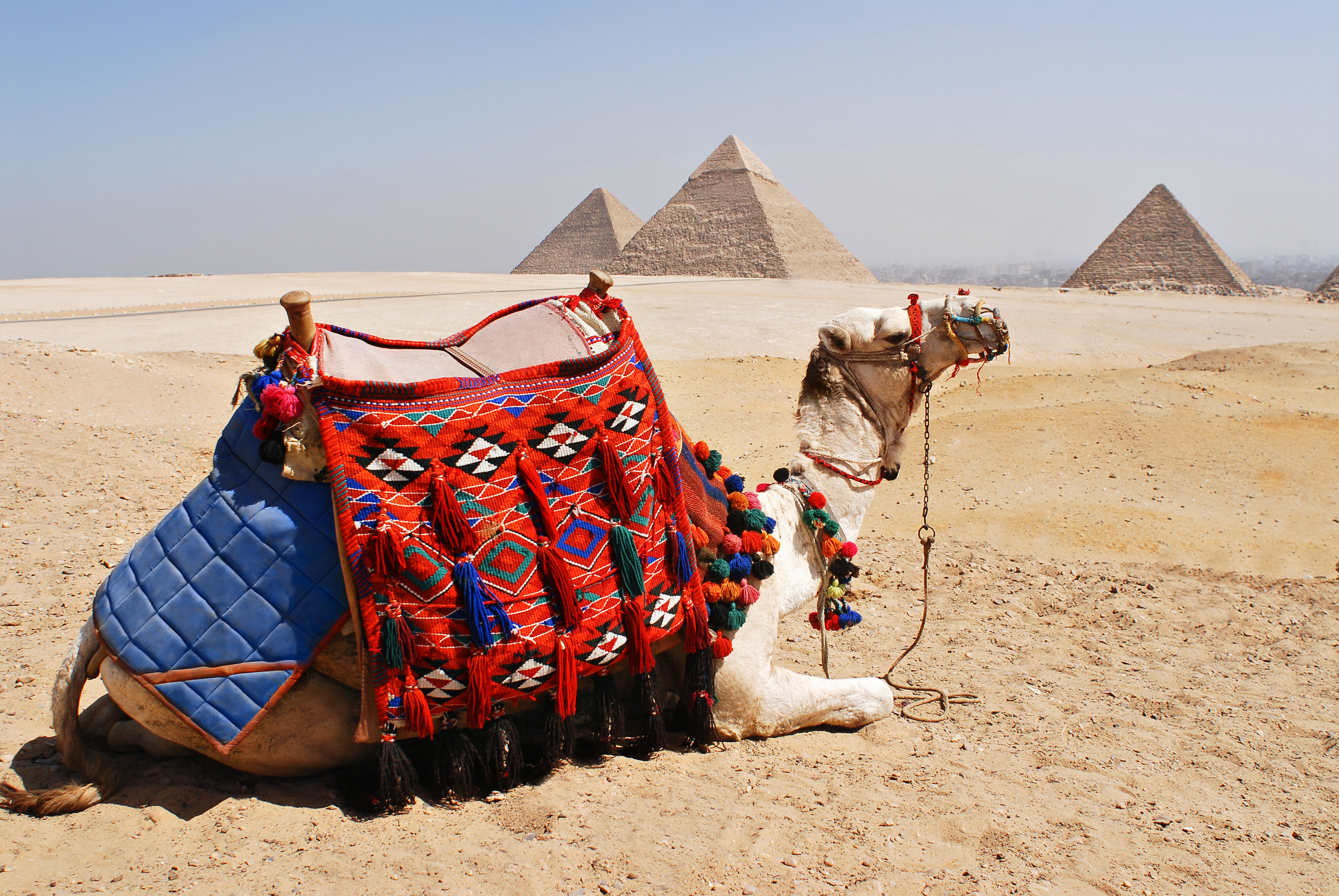 traditionally_decorated_camel_against_background_of_great_pyramid_of_giza_khufue28099s_pyramid_pyramid_of_khafre_pyramid_of_menkaure_left_to_right-_giza_cairo_egypt_north_africa
